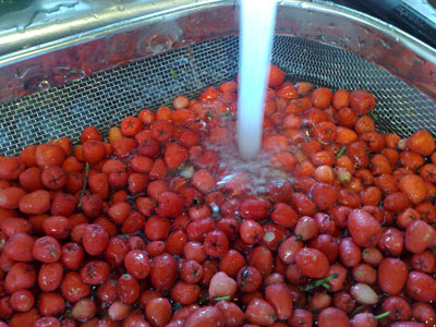 Washing fruit for lilly pilly jelly