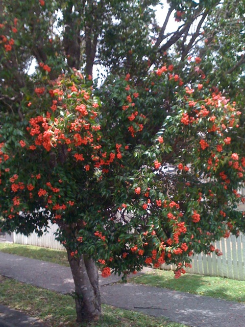 Lilly Pilly Tree